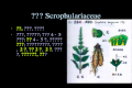 玄参科 Scrophulariaceae