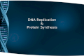 DNA Replication & Protein Synthesis. DNA REPLICATION.